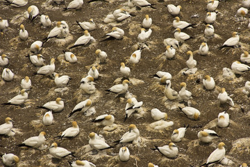 Muriwai Gannet Colony in Auckland