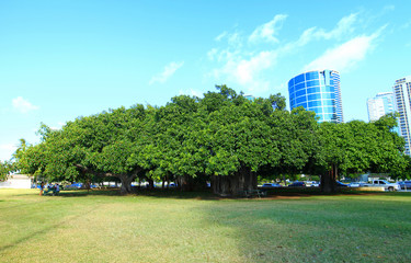 Gigantic Trees, Oahu, Hawaii
