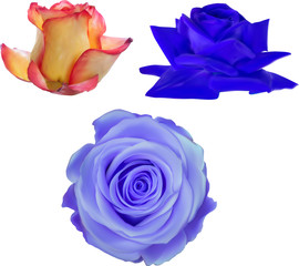 illustration with three isolated rose blooms