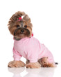yorkshire terrier in a pink pyjama