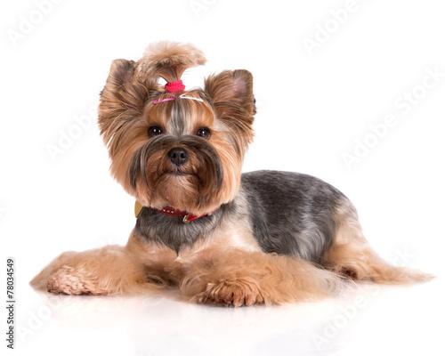 yorkshire-terrier-pies-lezacej
