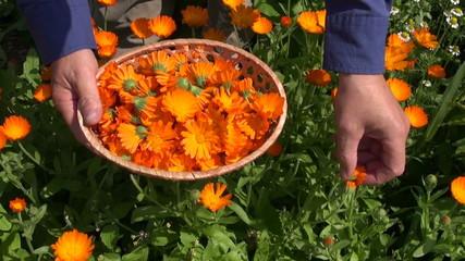 herbalist hand gathering marigold calendula herb blossoms