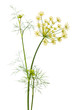 flowers of dill on white background - 78037363