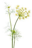 flowers of dill on white background - Fine Art prints