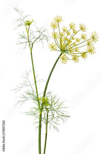Papiers peints Herbe, epice flowers of dill on white background