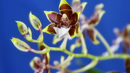 Orchid Flower Blooming Close Up. Timelapse. Blue background