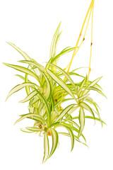 Plante araignée, Phalangère, Chlorophytum