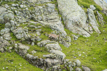 Alpine goat on a rock