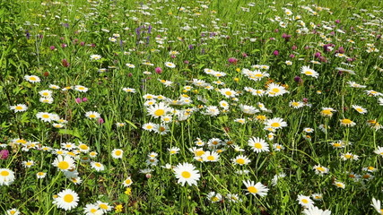 summer meadow with daisies
