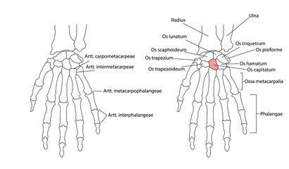 Bones of the left hand, view from below, labeled in Latin.