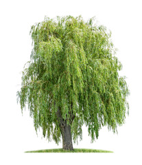 isolated weeping willow on a white background