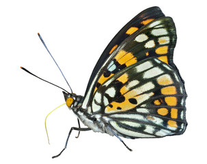 Butterfly (Sephisa dichroa) 25