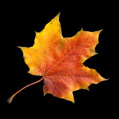 Ahornblatt; Ahornbaum; Herbstblaetter;