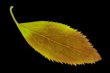 Forsythien, Forsythia, intermedia, Herbstfaerbung,