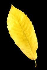 Esskastanien, Edelkastanie, Castanea, sativa, Herbstfaerbung,