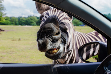 portrait of funny faces Zebra