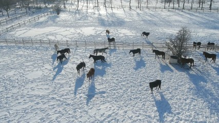 Aerial view on horses playing on the snow.