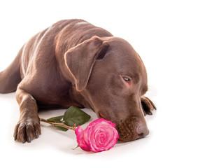 Labrador mit Rose