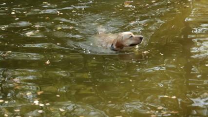 Dog swims on a lake