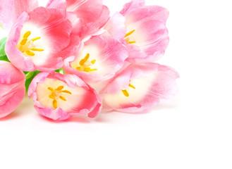 Rosa Tulpen, weißer Hintergrund