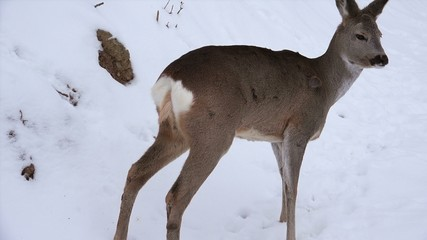 Deer roe foraging for food in the snowy woods, 4k, real time,