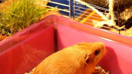domestic guinea pig eating grass