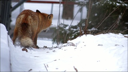 Red fox looking for prey in winter time near urban location