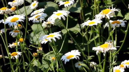 chamomile flowers swaying in the wind