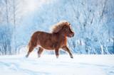 Little furry shetland pony running in winter