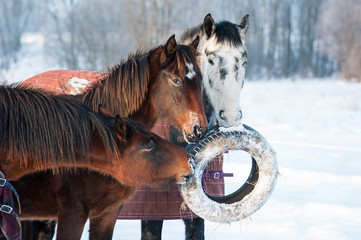 Group of horses playing with a wheel