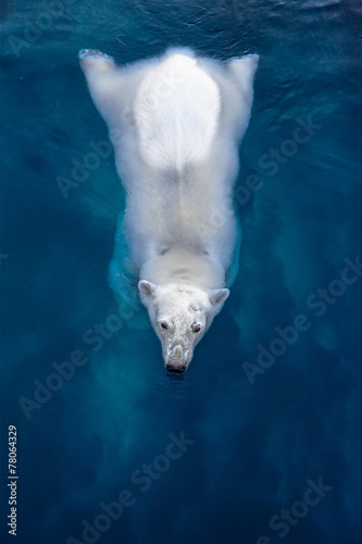 Swimming polar bear, white bear in blue water - 78064329