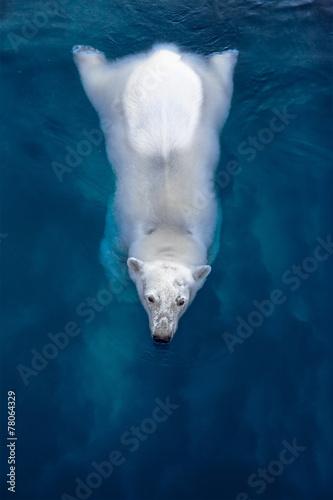 Fototapeten Eisbar Swimming polar bear, white bear in blue water