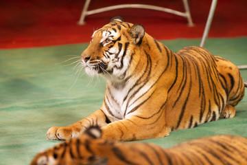Obedient tiger