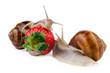 garden snail strawberry