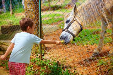boy feeding pony through the fence on farm. focus on horse
