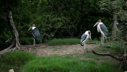 Great Blue Herons in Wildlife park. Bangkok, Thailand. HD