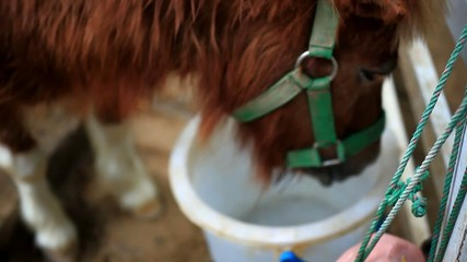 Close up of hungry horse eating and drinking from feed bucket