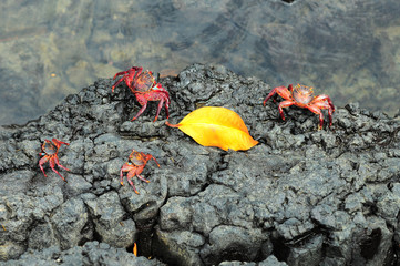 Sally Lightfoot Crab ore Red cliff crab from Galapagos Islands