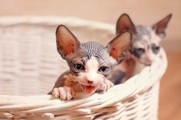 Close up Sphynx Kittens Inside a Wooden Basket