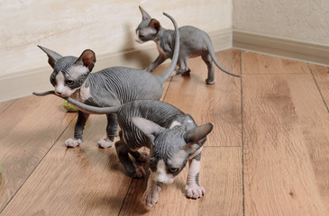 Close up Little Sphynx Kittens Inside the House