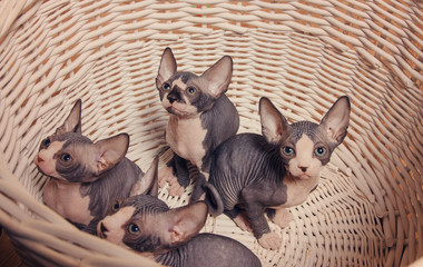 Gray Sphynx Kittens Inside a Basket Looking Up