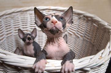 Gray Sphynx Kittens Inside a Basket Looking Up
