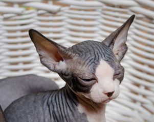 Serious Gray Little Sphynx looking at the Camera