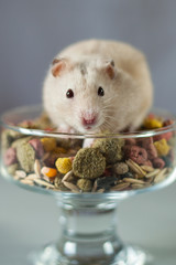 hamster among colored Food for rodents on a gray background