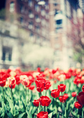Tulips in spring in New York City