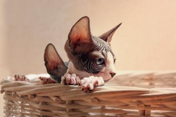 Close up Sad Sphynx Kitten Inside the Basket
