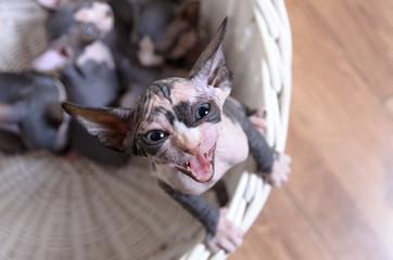 Aerial Shot of Screaming Sphynx Kitten