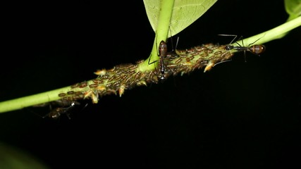 Ants tending a colony of aphids in rainforest, Ecuador