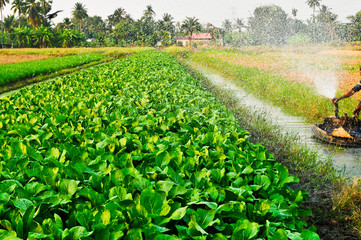 Watering the vegetable garden of  farmers.