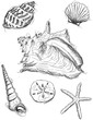 Seashell sketches - 78086914